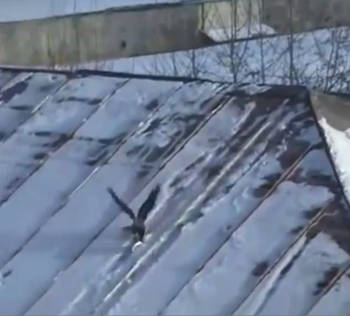 Tobog-crow-ning: Crow uses plastic lid to sled down roof over and over again