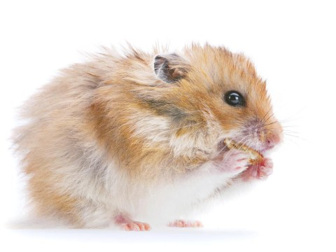 Holly the Hamster is Middlesbrough's secret weapon in their charge up the Championship