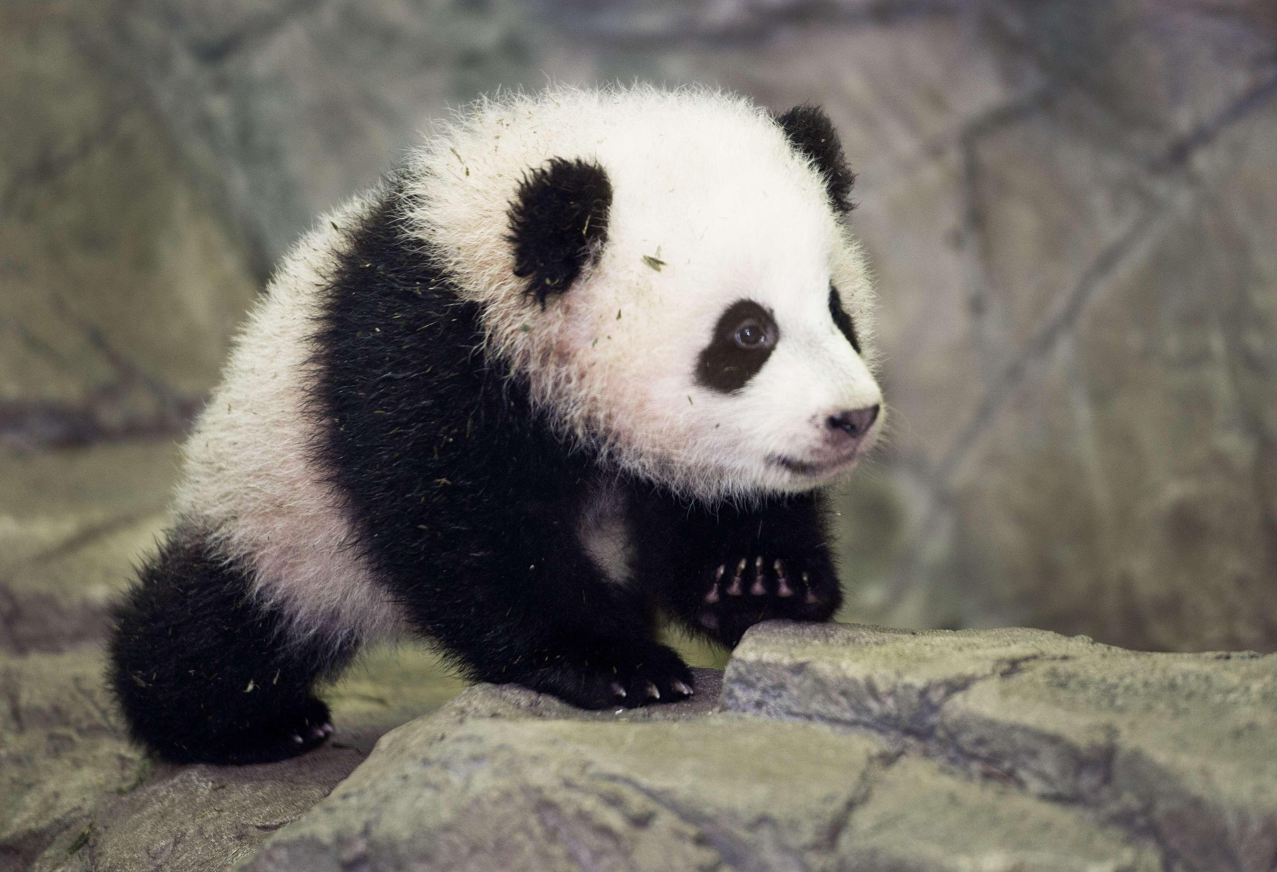 Gallery: Panda cubs Bao Bao and Yuan Zai make public debuts at Washington and Taipei City Zoos
