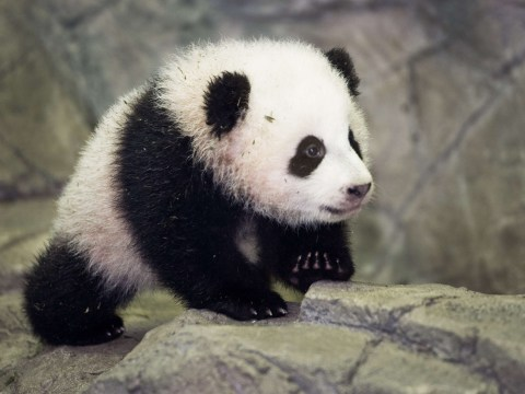 Gallery: Panda cubs Bao Bao and Yuan Zai make public debuts at Washington and Taipei City Zoos