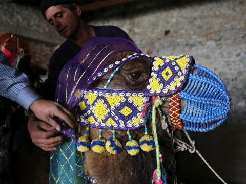 Gallery: Camel Beauty Contest ahead of the annual Selcuk-Efes Camel Wrestling Festival in Selcuk