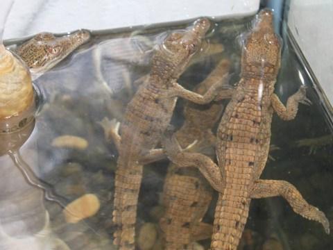 Crocodile shock as reptiles invade swimming pool