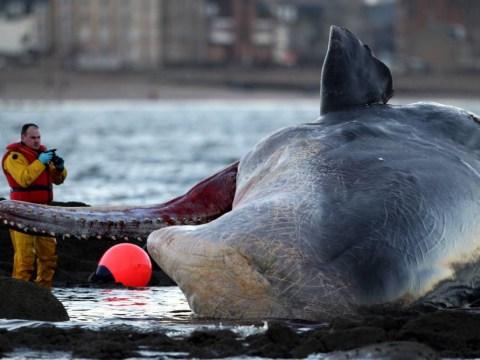 Dead sperm whale washes up on Edinburgh beach