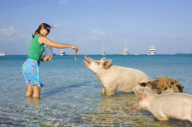 Feeding the swimming pigs on Big Majors Cay (Picture: Getty)