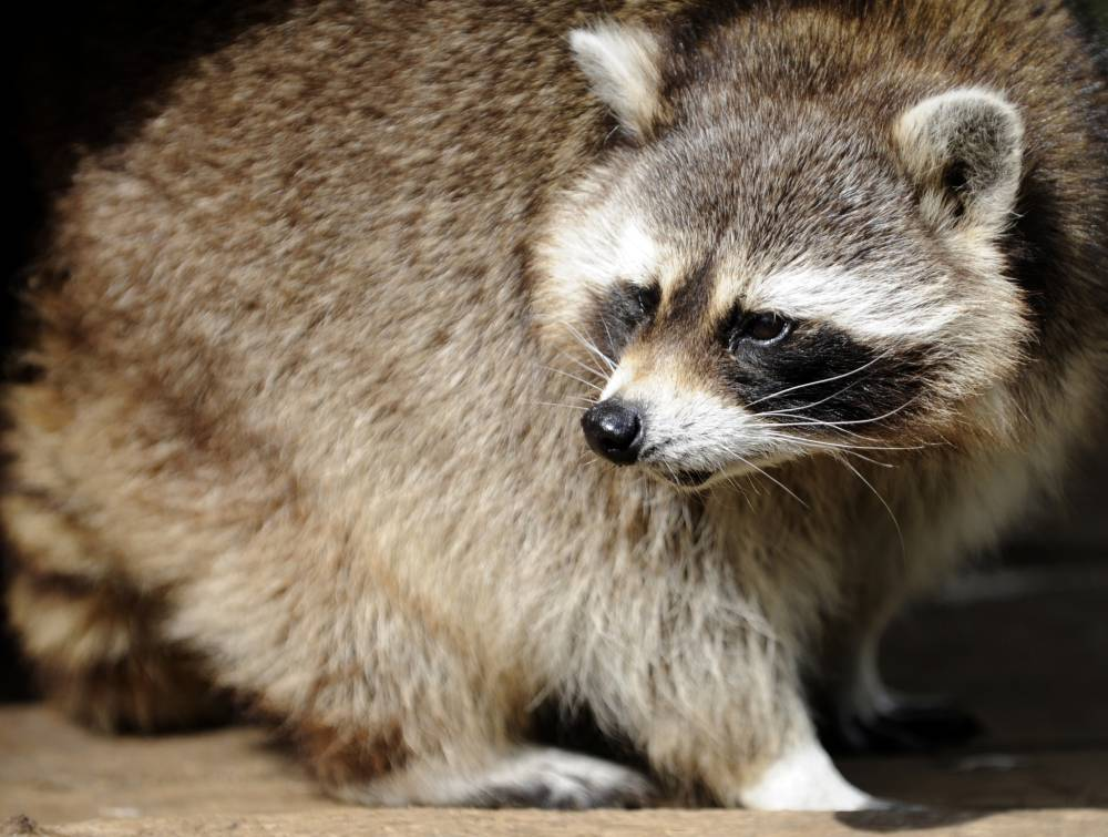 Raccoon on the run after burrowing her way out of flood-hit zoo