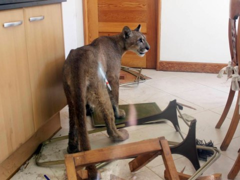 Woman goes downstairs to make breakfast, finds puma in kitchen