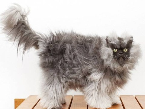 RIP Colonel Meow: Internet mourns the cat with the longest hair in the world