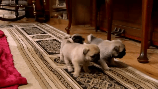 Puppy Pug Play Time