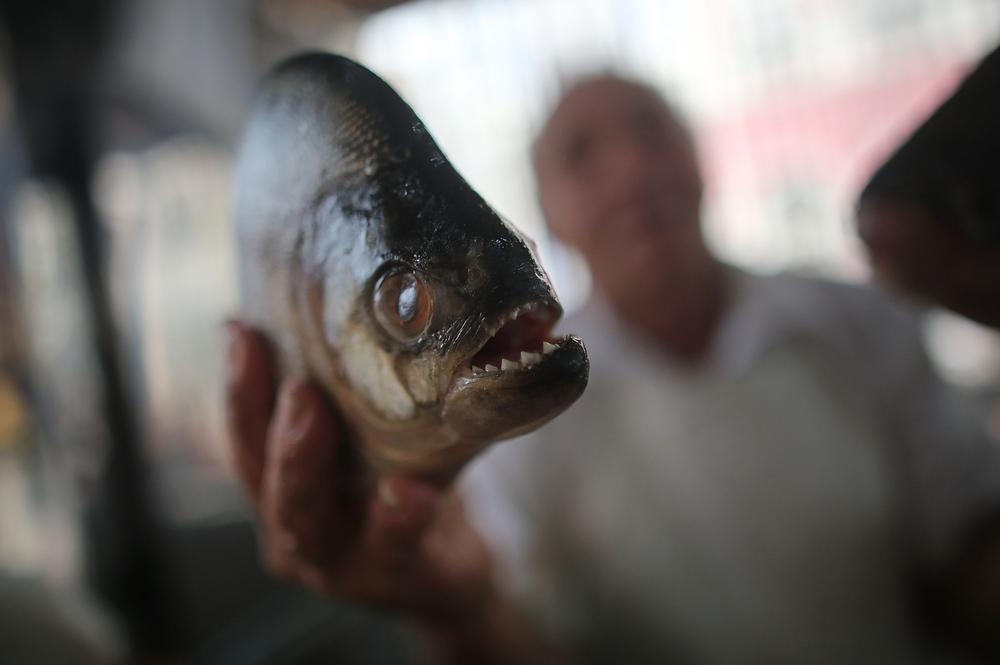 Piranha can't be bothered to catch fish, would rather let fisherman do it instead