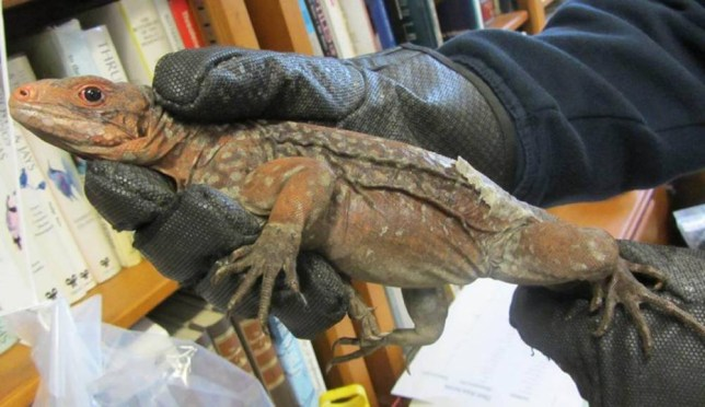 Rare iguanas stuffed in socks seized at Heathrow Airport