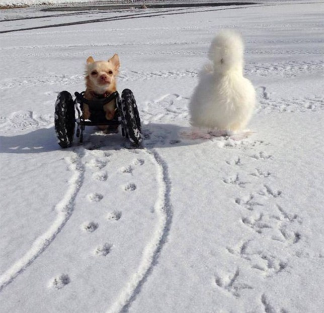 Fluffy chicken two-legged chihuahua become best friends.jpg https://www.facebook.com/photo.php?fbid=705650399465814&set=pb.113242478706612.-2207520000.1392544830.&type=3&theater