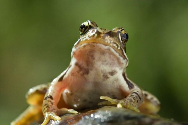 Frog, Crawley Council