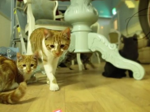 Feline fans rejoice as opening day for Lady Dinah's Cat Emporium is announced