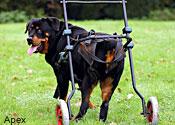 Molly, Rottweiler on wheels