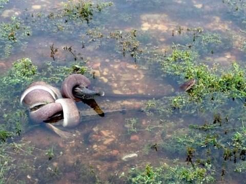 The full monty python: Snake devours a crocodile… whole