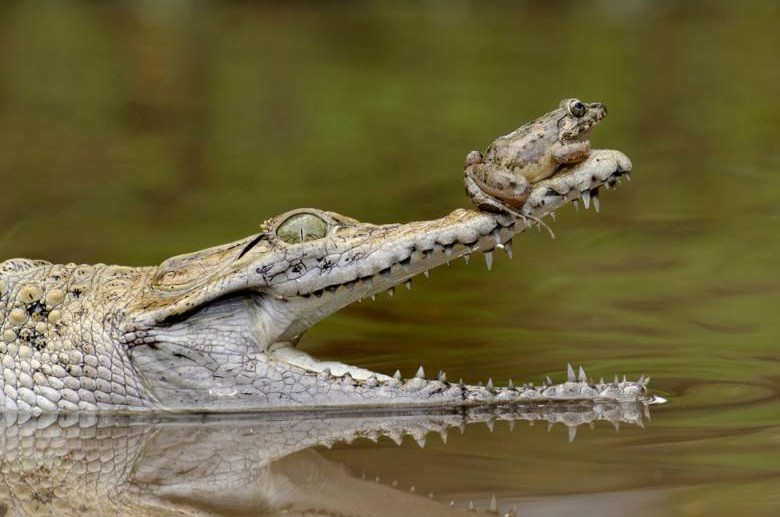 Perched on the nose of a crocodile, this brave frog probably won't realise just how much of a lucky escape it's had