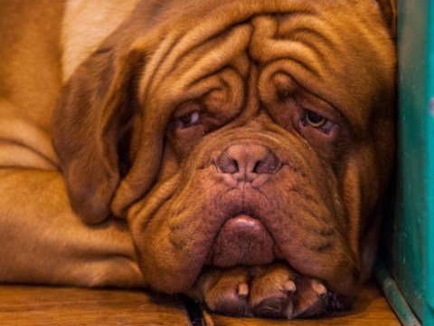Is this the world's most saddest dog? Crufts competitor isn't too happy to be there