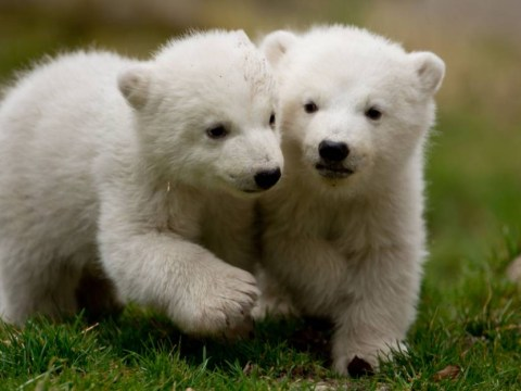 Pictures: Cute alert! 14-week-old polar bear twins explore Munich's Tierpark Hellabrunn