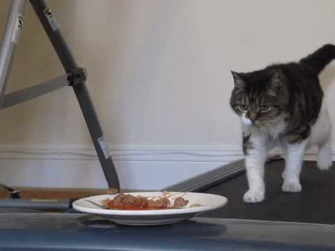 Daisy the cat trolled by owner with bowl of food – and treadmill