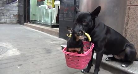 CUTE ALERT: Dog takes care of puppy with broken leg while owner goes to work