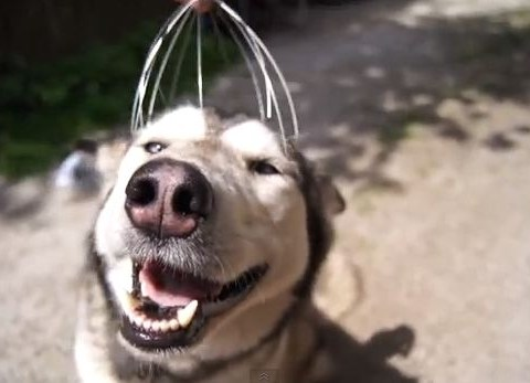 Head massage anyone? Silver the husky's face is a picture of pure delight