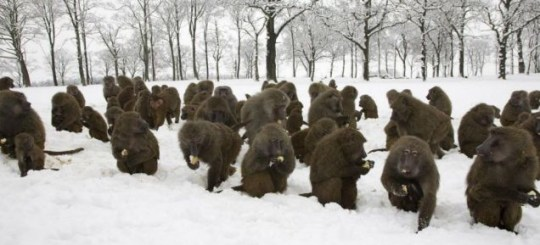 Spuds-they-like: Knowsley Safari Park wardens gave hot potatoes to Baboons to help keep them warm