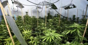 Cannabis worth £1m was found in a bank