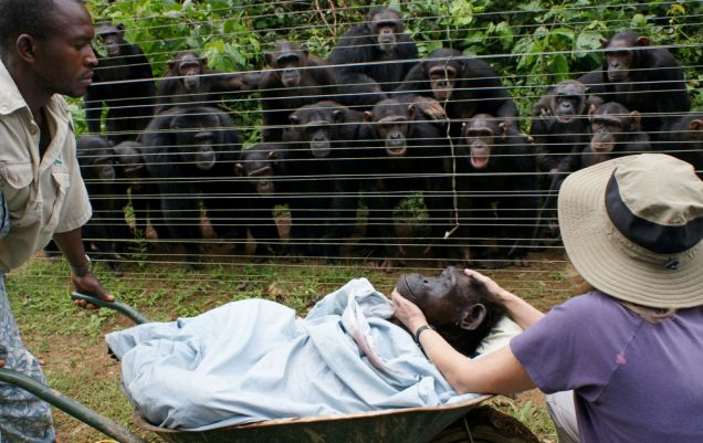 Grief: Chimps gather to 'pay their respects' to an elderly female who died at a rescue centre in Cameroon (Picture: Monica Szczupider/Solent)