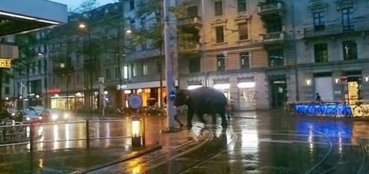 Sabu the escaped elephant: welcome to picturesque Zurich (Picture: CEN)