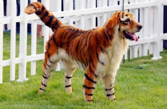 A dog, painted as a tiger (Picture: Barcroft)