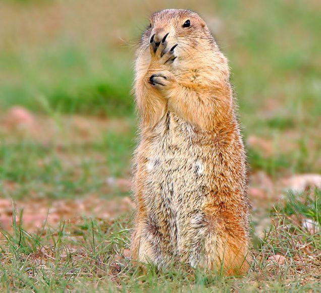 Prairie dog worried