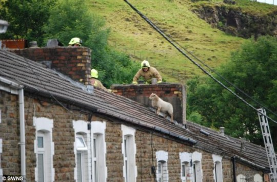 Sheep stranded on roof in Wales rescued by firemen