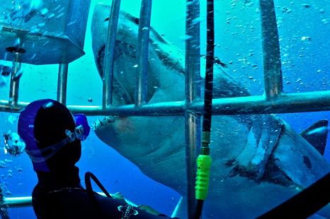 This diver stares into the jaws of death as he fends off a Great White shark (Picture: National)
