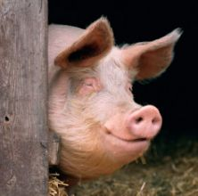 man aiming gun at pig shoots wife dead instead