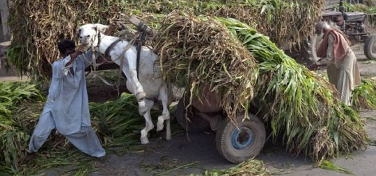 Donkey lifted up by heavily loaded cart of corn plants Lahore