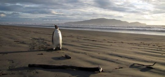 Wandering 'Happy Feet' Penguin Heading Home