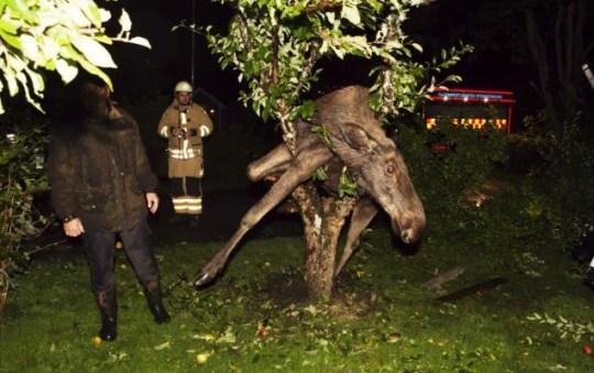 drunk moose up tree Sweden