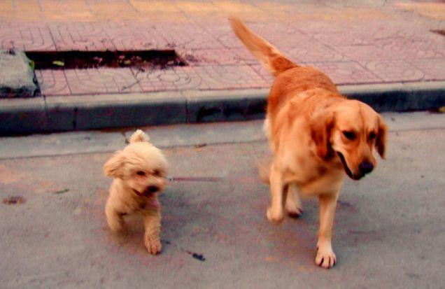 dog walks dog china
