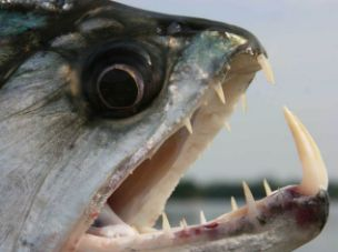 Piranha Attack bolivia yata river