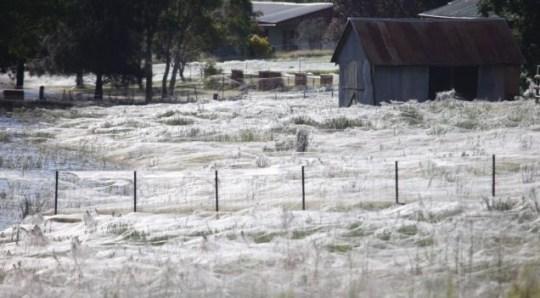 Wagga Wagga, Spiders, web