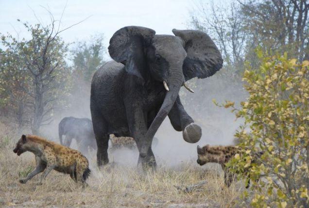 hyenas, elephant