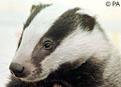 A badger: 'You're my besht mate, you are'