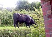 Cow: rail hazard