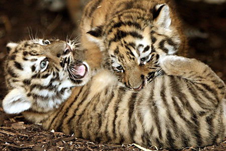 The Amur tiger cubs play at the wildlife park