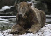 Knut the bear