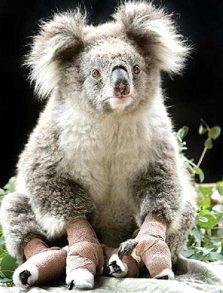 Sam the Koala: put down