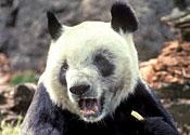 panda ling
