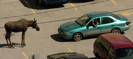 Moose car