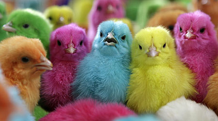 Painted chicks