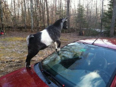 Baaad reputation: Car-attacking goats known for causing trouble